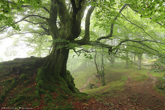 The guardian of the forest (Hector Prada) Tags: bosque árbol niebla primavera luz naturaleza musgo raices forest tree fog mist spring light moss roots nature paisvasco basquecountry