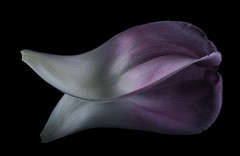 Reflecting On The Shapes, Curls and Color Of A Pink Tulip Petal (Bill Gracey 15 Million Views) Tags: shapes shadows shadowshapes color pink white blackbackground offcameraflash yongnuorf603n yongnuo softbox sidelighting homestudio mirror reflection tulip petal
