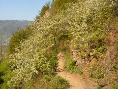 Süsskirschen-Blütentor (Jörg Paul Kaspari) Tags: eller bremm mosel diecalmonttour frühling spring wanderung wandertour klettersteig calmont