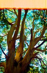 (FelipeBe) Tags: gaia tierra arbol naturaleza 35mm color agfa 200 canon ae1 50mm film analogico analogic pelicula uruguay rocha santa teresa de la vida tree life