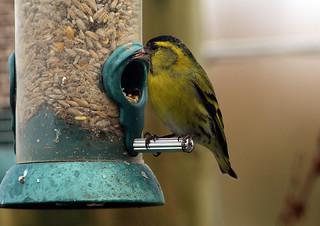 Siskin on Hub feeder