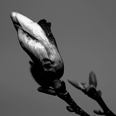 zugeknöpft - tight-lipped (Bernd Kretzer) Tags: magnolie magnolia blüte blossom makro schwarzweiss blackwhite vivitar macro focusing zoom 75–300mm 14556