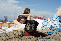 Dog Days (dtanist) Tags: nyc newyork newyorkcity new york city sony a7 konica hexanon 40mm coney island brooklyn beach sand dog pet hole dig