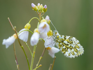 Anthocharis cardamines - Oranjetipje - Orange Tip Butterfly