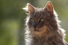 Angelic Fynnie (FocusPocus Photography) Tags: fynn fynnegan katze kater cat chat gato tier animal haustier pet porträt portrait gegenlicht backlight