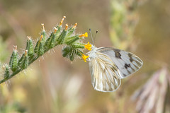Checkered White (D Kaposi) Tags: arizona sonoranpreserve 2017 apachewashtrail taxonomy:kingdom=animalia animalia taxonomy:phylum=arthropoda arthropoda taxonomy:subphylum=hexapoda hexapoda taxonomy:class=insecta insecta taxonomy:subclass=pterygota pterygota taxonomy:order=lepidoptera lepidoptera taxonomy:superfamily=papilionoidea papilionoidea taxonomy:family=pieridae pieridae taxonomy:subfamily=pierinae pierinae taxonomy:tribe=pierini pierini taxonomy:subtribe=pierina pierina taxonomy:genus=pontia pontia taxonomy:species=protodice taxonomy:binomial=pontiaprotodice pontiaprotodice checkeredwhite mariposablancamanchada taxonomy:common=checkeredwhite taxonomy:common=mariposablancamanchada inaturalist:observation=5630896
