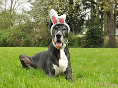 15.52.2017 Easter Dane (kmmorgan1977) Tags: 52weeksfordogs 52wfd 52wfd2017 kkzsapachevegasrose greatdane dog dogs easter spring 2017 oregon bunny rabbit