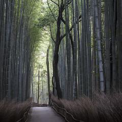 calm (Thomas Sobottka) Tags: kyoto japan bamboo arashiyamabamboogrove arashiyama bambus wald wood park green calm quiet tranquil silent morning high rising