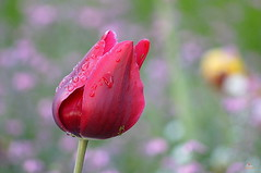 tulipe rouge du matin (laurentmorand) Tags: morand macro fleur flower tulipe nature garden jardin plante printemps rosée parc photo