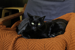 Buddies in a Chair (lennycarl08) Tags: lc lennyandcarl cats blackcats kitties