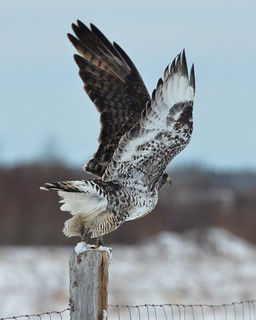 Male Rough-Legged Hawk