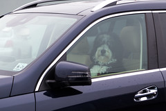 Dog Gone Good Drive! (aka Buddy) Tags: 2017 winter dog car window redbank nj og