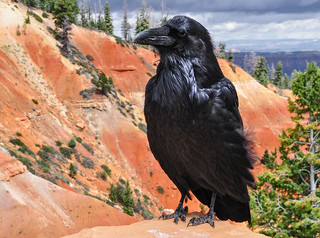 Common Raven, Corvus Corax, Grand Corbeau, Cuervo Cumún, Cuervo Grande