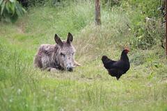 IMG_6095 (Pablo Alvarez Corredera) Tags: burro gato gata gallina rural medio vida hierba alta pradera praderio espigas arbol arboles burrito orejas orejitas gatita