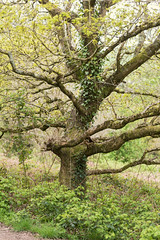 The Ol' Oak (--Kei--) Tags: nikon nikkor afnikkor 80200mm f28 80200mmf28 nikon80200mmf28 afnikkor80200mm28 trees tree gollars gaer fort green nature wales southwales cymru newport casnewydd uk britain