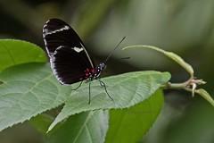 DORILONG Clsd 0127 (bryanjsmith62) Tags: dorislongwing laparusdoris nymphalidae butterflies lepidoptera