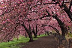 A Stroll down Cherry Lane (CVerwaal) Tags: blossoms centralpark spring newyork ny usa cherryblossoms olympusem5 lumixgvario1235mmf28