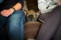 Take a break (Chris Buhr) Tags: leica m10 noctilux 50mm bokeh f095 hund dog nickerchen sofa sleep indoor detail bulldogge