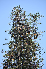 DSC (836) (wanderamore) Tags: srilanka botanicalgardens peradeniya flyingfox