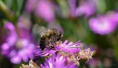 DSC_8081 (miguelmv85) Tags: bokeh macro flores abejas