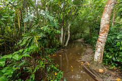 13. Cahuita, Costa Rica-19.jpg (gaillard.galopere) Tags: 2017 5d 5dmkiii apn america amérique animaux cr cri canon continentsetpays costarica couleur ef eos g11 mkiii nature travel vegetations voyage ameriquecentrale amériquecentrale arboles arbre arbres bocage cahuita canonphotography centralamerica centroamerica color colorful compact forest foret forêt hood marécage ovelanding overland overlander powershot sauvage traveler tree trees végétation wild wood