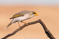 Yellow-throated Miner (chrissteeles) Tags: yellowthroatedminer miner bird birding pengilly roseworthy southaustralia sa