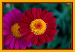 AH62_8935 (der_andyrandy) Tags: blumen blüte flowers blütenstaub blütenpollen macro makro rot gelb canoneos7d