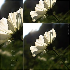 Earth is beautiful and fragile (nathaliedunaigre) Tags: earthday 22042017 fleur flower sun soleil ombres shadows transparence fragilité fragile fragility beauty beauté nature carré square