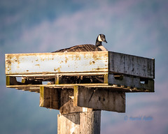 First Come first Served. (ausmc_1) Tags: nikkor2oo500f56vr spring waterfront d800 canadagoose birds outdoor britishcolumbia nikon14tceii 2017 wildlife bird waterbirds canada shushwap salmonarm shushwaplake nest