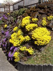 Steingarten (onnola) Tags: koblenz rheinlandpfalz deutschland rhinelandpalatinate germany arzheim frühling spring blüte blossom gelbessteinkraut alyssum alyssumsaxatile polsterstaude steingarten mauer wall gelb yellow blau violett lila purple blue