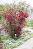 IMG_0350 (vargabandi) Tags: chaenomeles vargabandi garden red blossom