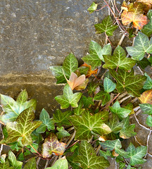 Spring Crawling Along (DaveLawler) Tags: colony colonize crawling vine spring green wall brick cinder block plant leaves