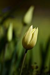 Tulip (nagyistvan8) Tags: nagyistván túrkeve magyarország magyar hungary nagyistvan8 természet nature virág flower tulipán tulip tavasz spring színek colors zöld sárga fekete green yellow black növény plant háttérkép background bokeh bokehlicious blur ngc 2017 nikon