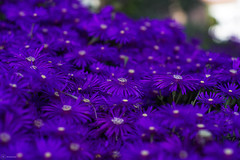 Purple, the most precious color in nature (RCSantos722) Tags: nature plant flower closeup summer petal flowerhead botany beautyinnature backgrounds freshness macro daisy blossom pinkcolor multicolored outdoors springtime formalgarden flowerbed sony alpha a6000 canon fdlens 50mm