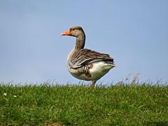 Greylag goose (Corine Bliek) Tags: ganzen geese waterbirds vogel vogels bird birds nature wildlife natuur sky blue lucht gras grass onelegged anseranser