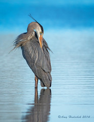 Great Blue Heron (Happy Photographer) Tags: lake bird heron spring colorado amy preening greatblueheron gbh happyphotographer highlinelake hudechek