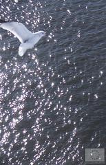 The gull sees farthest who flies highest         Richard Bach, Jonathan Livingston Seagull (VisitPohjanmaa) Tags: meri vesi luonto lintu lokki pohjanmaan kautta