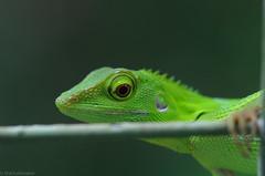 lizard on the fence6