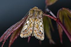 Furufly Panolis flammea (Eivind Nielsen) Tags: lepidoptera flammea panolis furufly