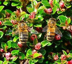 A hard working couple! (Lord Cogsby) Tags: bees working hard
