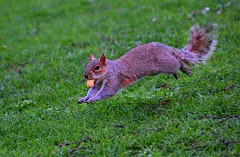 Flying to indulge...[Explored 23rd April 2014] (Patrizia Ilaria Sechi) Tags: motion cute nature animals squirrel funny stjamespark peanut actionshots motionshots motionphotography