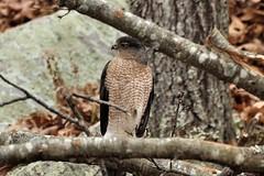 This was my ........ (l_dewitt) Tags: bird backyard hawk wildlife raptor birdwatching birdwatcher coopershawk backyardbirds wildlifephotos raptorphotos hurricanesandy