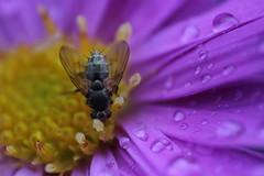 Kfer auf Blume (JensP.91) Tags: tiere sommer blume kfer