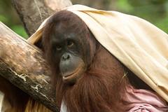 Borneo-Oran-Utan (joerge65) Tags: deutschland tiere orangutan rostock mammalia mecklenburgvorpommern vertebrata primaten säugetiere zoorostock menschenaffen wirbeltiere trockennasenaffen darwineum