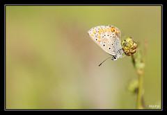 Argus brun (M@P31) Tags: france macro insecte 2014 lycaenidae hautegaronne lamartine lpidoptre tamron90macro ariciaagestis collierdecorail argusbrun sonya77 azurbrun