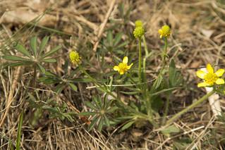 Ranunculus rhomboideus, Lupinus perennis Prairie buttercup and lupine