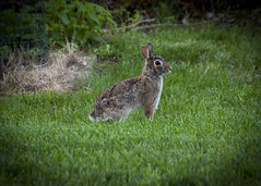 Rabbit Looking for an Exit (trainmann1) Tags: cute rabbit bunny nature grass animal yard outside outdoors eyes nikon hare wildlife ears handheld hop nikkor amateur vignette 18200mm d90