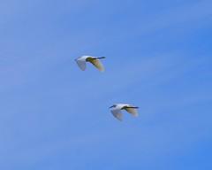 Synchronized Egrets (Tripawd) Tags: coyotehills egrets ebparksok