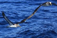 Buller's Albatross Thalassarche bulleri Forty-Fours Chatham Archipelago New Zealand  EXPLORED 05 05 2014