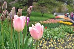 Tulip Time (Trish Mayo) Tags: flowers spring tulips bbg brooklynbotanicgarden masterphotos thebestofday gününeniyisi